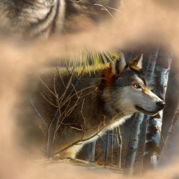 Wölfe Porträts braun
