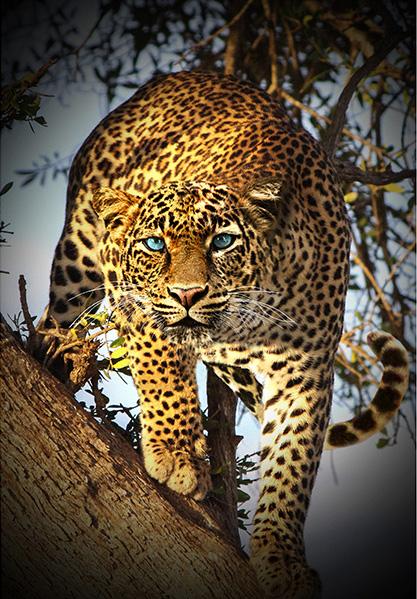Panel Leopard