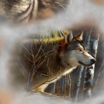 Wölfe Porträts grau